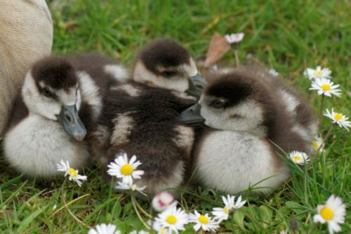 Kew Gardens Spring duck chicks